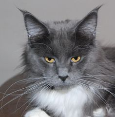 Cat -- Maine Coon kitten