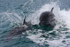 Dolphins having fun riding our boat wave! Be part of the dream at Golfo Dulce Retreat www.gdretreat.com