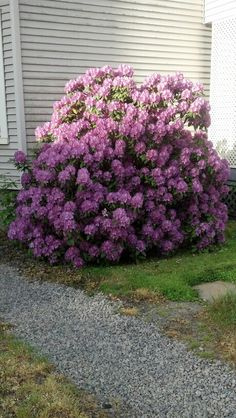 Same Rhododendron Bush in my backyard!