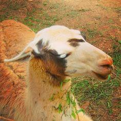 . . Llama boliviana en el Parque de la Naturaleza de Cabarceno /// Llama from Bolivia in Cabarceno Natural Park . Cabarceno, Cantabria, Spain . Agosto de 2012 . Fotografía de Eloy Mejias . #eloymejias #cabarceno #cantabria #animal #animales #animals #llama #bolivia #bolivian #parque #park #nature #natural #naturaleza #reservanatural #boliviana #parquedelanaturalezadecabarceno #parquedecabarceno #wild #savage #salvaje #fauna #likeit #followback #beautiful #interesting