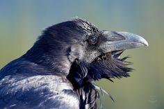Raven - Windblown by JestePhotography on DeviantArt