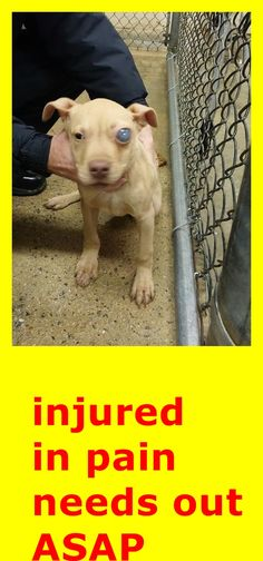 Heath Yellow Labrador Retriever Mix • Baby • Male • Large City of Rocky Mount Animal Control Rocky Mount, NC https://www.petfinder.com/petdetail/31261099/ https://www.facebook.com/FriendsOfRockyMountAnimals/photos/pb.493907430659446.-2207520000.1421451689./894314673952051/?type=3&theater