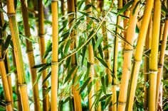 Yellow Green Bamboo Stalks Asian Wall Art by AvalonPrintShop. Available in a variety of sizes on Canvas, Metal or Photo Paper.