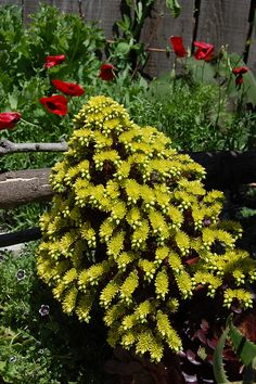 Freaky huge Aeonium flower.