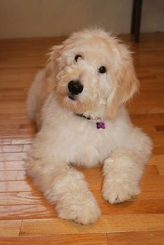 Golden doodle  - so glad someone decided this mix worked. What a sweet face!