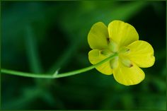 Hold this flower under your chin to see if you like butter. Click to read Wednesday's Story: http://floatingpetals.net/member_access/wednesdays_story_111313/ Buttercup, Ranunculus