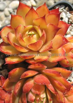 Sempervivum Orange Glow -Dachwurz - Sempervivumgarten - Online Shop !!!!!
