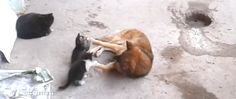 """Mother cat introduces kittens to friendly dog 