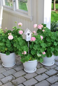 Love these happy geraniums-they can be brought indoors when winter arrives and thrive in a sunny location.