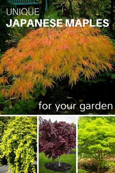 Discover unique Japanese Maples for your garden from @thetreecenter!