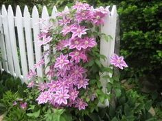 clematis on picket fence