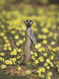 Meerkat (Suricata Suricatta), Kgalagadi Transfrontier Park, South AfricaAllen?  Steve? Quiet as a mouse, I'm hunting rabbits!
