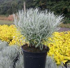 Fotogalerie: Máte rádi maggi či kari? Vypěstujte si na zahradě rostlinu, která vám toto koření nahradí Korn, Plants, Flora, Plant