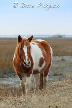 Chincoteague Pony, VA