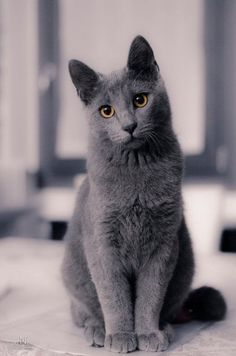 Discover The Russian Blue Cats best russian blue cat personality images ideas most affectionate cat breed how much a fluffy russian blue kitty / kitten price ? The post Discover The Russian Blue Cats appeared first on Katzen. Cute Baby Cats, Cute Cats And Kittens, I Love Cats, Kitty Cats, Fluffy Kittens, Ragdoll Kittens, Bengal Cats, Sphynx Cat, Ragdoll Cats