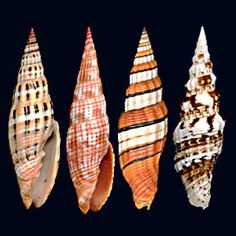 """Vexillum is a genus of small to medium-sized sea snails, marine gastropod mollusks in the family Costellariidae. Costellariidae sometimes called the """"ribbed miters"""" is a taxonomic family of minute to medium-sized predatory sea snails, marine gastropod mollusks."""