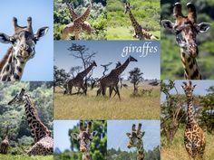 Best of Afrika - Giraffen