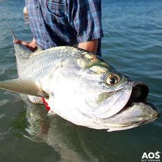 Tarpon close up! #poon #tarpon #aosfishing #flyfishing #fliegenfischen #pescamosca #fluefiskeri #perhokalastus #vliegvissen #pescaconmosca #pechemouche #graz #styria #steiermark #onlineshop #picoftheday #photooftheday #lovefishing #austria #caribbean #catchoftheday #catchandrelease #sabalo #fluefiske #finatical #orvisflyfishing #saltwater #saltlife #onthefly Hatch Outdoors, Inc. Thomas and Thomas Fly Rods @scientificanglers AOS Fly Fishing