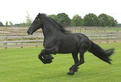 approved stallion Jelke 367