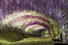 Google Image Result for http://www.webandtime.com/img/nature/beautiful_japanese_wisteria/wisteria7.jpg