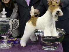 Sky--Wire fox terrier.  Winner of 2014 Westminster Dog Show