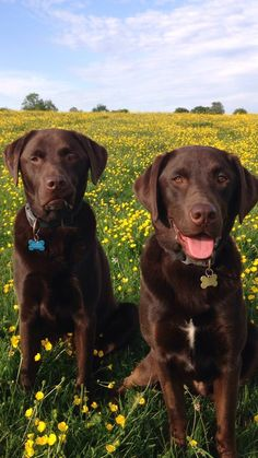 Handsome Labradors – I Love Them… – Perro Perro Labrador Chocolate, Chocolate Lab Puppies, Chocolate Labs, Gifts For Dog Owners, Dog Gifts, Golden Labrador, Tier Fotos, Beautiful Creatures, Cute Animals