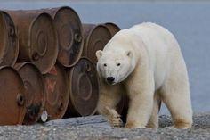 """Остров Врангеля – мир белых медведей!  Заснеженный российский остров Врангеля лежит в Северном Ледовитом океане, и климат здесь суровый. Тем не менее, именно здесь находится самая большая в мире """"колония"""" белых медведей и их родовых берлог!   На остров Врангеля белые медведи стекаются со всего севера, чтобы вывести потомство. Здесь они устраивают многочисленные родильные пещеры. Остров Врангеля считается самым большим родильным домом белых медведей в мире."""