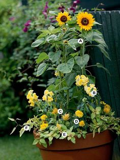 ~Great Container Gardens...A Dwarf sunflower B Snapdragon Yellow Chimes C Celosia Fresh Look Yellow D Marigold Janie Bright Yellow E Lysimachia Outback Sunset F sweet potatoe vine Variegate~