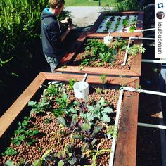 #Repost shoutout to @louloubraun!  Awesome work! You've got some great growth!  Our aquaponics garden six weeks on #farmermatty