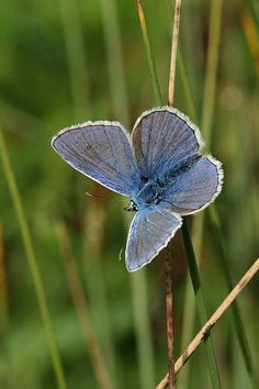 common blue moth, Staines Moor, Colne Valley Regional Park, Surrey, England