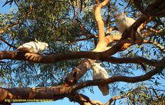 Wild Cocatoo, Sydney Australia