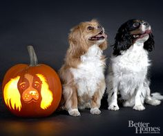 Cavalier King Charles Spaniel Stencil for your pumpkin carving...many other breeds too. I just downloaded the stencil and can't wait to showcase my Cavalier King Charles Spaniel pumpkin next year!!