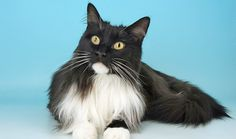 Black and White Maine Coon Cats