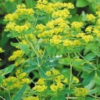 Euphorbia coralloides Seeds £2.95 from Chiltern Seeds - Chiltern Seeds Secure Online Seed Catalogue and Shop