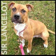 Sir Lancelot is a 7 month old terrier pit bull mix. Could he be your knight in shining armour? Meet him at 184 Verona St.