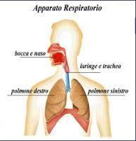 Piccoli cenni di Anatomia dell'Apparato Respiratorio: