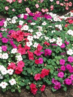 Busy Lizzie (Impatiens walleriana)  24 inches tall, 24 inches wide. Ideal growing conditions: partial sun, well-drained soil, moist soil.