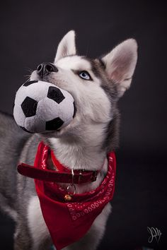 Let's play football!  Siberian Husky with soccer ball in his mouth. Love the red bandana too!  By Irene Mei via Flickr.