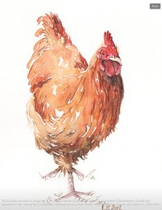 Watercolor chicken