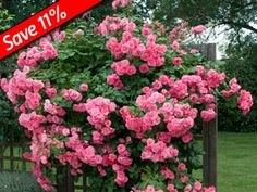 Zephirine Drouhin, climber, This nearly thornless rose produces an abudance of…