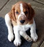 The very first picture of my Lilly :-). Welsh Springer Spaniel