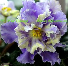 "African Violet ""RS-Jar Ptitza"" Russian/Ukrainian variety one leaf"