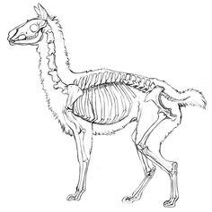Llama study by EchoGreens.deviantart.com on @deviantART