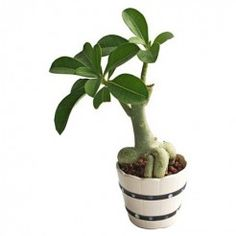 30 Bonsai Plants Online In Bangalore Ideas Bonsai Plants Online Bonsai Plants Plants Online