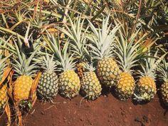 Maui Pineapple Tour