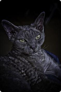 curly grey devon rex cat
