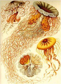 Discomedusae - Ernst Haeckel