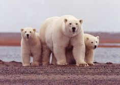 Polar Bear Female With Cubs Along the Beaufort Sea by USFWSAlaska. Two big cubs? Nice going lady bear!