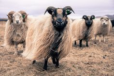 Icelandic Sheep by tedjohnjacobs on Flickr.