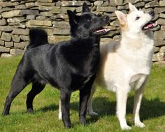 The Norwegian Buhund is a breed of dog of the spitz type. It is closely related to the Icelandic Sheepdog and the Jämthund. The Buhund is used as an all-purpose farm and herding dog, as well as watchdog and a nanny dog.
